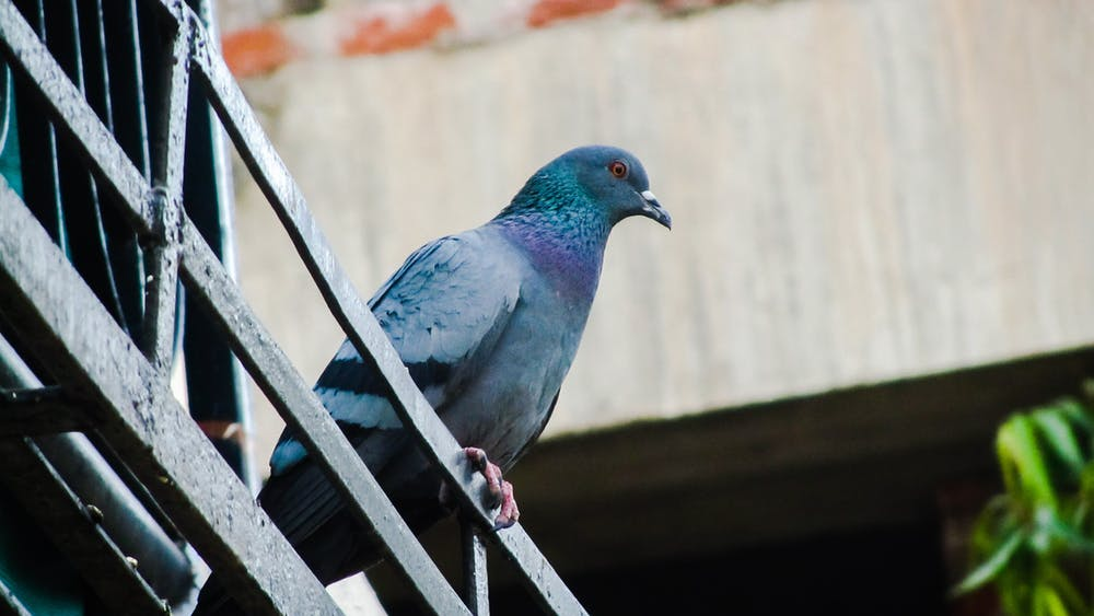 Prečo je dôležitý profesionálny boj proti holubom?